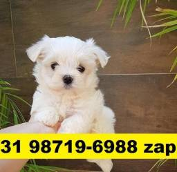 Canil Filhotes Cães Líder BH Maltês Shihtzu Lhasa Beagle Yorkshire Basset Pug