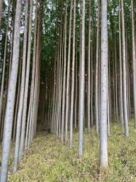 Título do anúncio: Floresta de eucalipto clonado