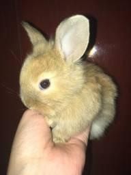 Título do anúncio: Vendo mini coelho loop