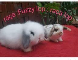 Título do anúncio: coelhos mini , anão tenho  Varias raça Disponível
