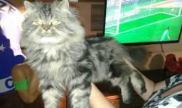Gato persa tigrado adulto