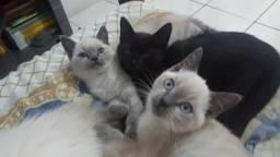 Vende-se filhote de gato