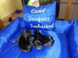 Vende-se filhote fêmea de yorkshire terrier com pedigree