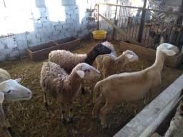 Venda de carneiros e ovelhas - a partir de R$ 200,00
