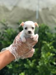 Chihuahua a pronto entrega. (11)9.7796.1054