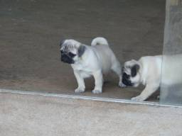 Filhotes De Pug fêmea Com GARANTIA