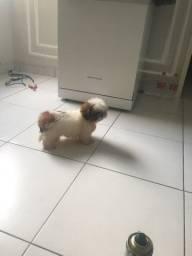 Shiatsu anão mini marcho com 3 meses e 15 dias