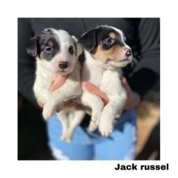 Título do anúncio: Jack russel com pedigree e micro chip em até 12x
