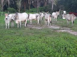 Bois e vacas