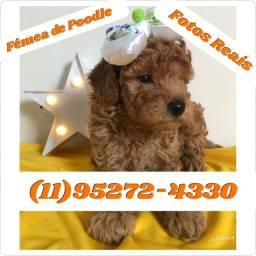 Belos filhotes de Poodle Toy machos e fêmeas disponíveis...