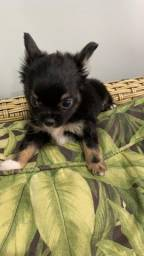 Chihuahua Pêlo longo!!!