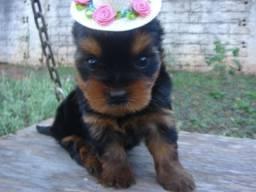 Yorkshire Terrier filhotes