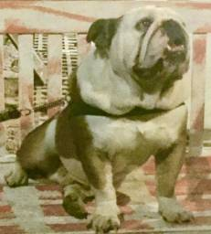Bull dog ingles (padreador)