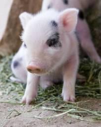 Porco Suino