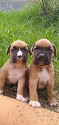 Cães boxer
