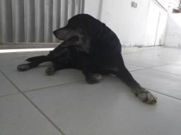 Labrador para reprodução (reprodutor)ótima linhagem