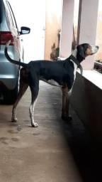Foxhound americano (Americano urrador )