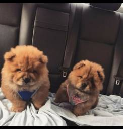 """Cachorros fêmea e machos """"raça CHOW CHOW"""