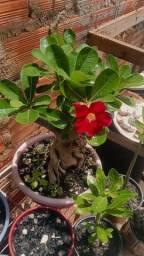 Rosas do deserto