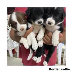 Título do anúncio: Border collie com pedigree e micro chip em até 12x