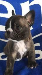 Lindo Bulldog Francês porte pequeno