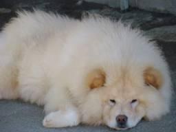 Chow-chow -(Sharpei, Shih-tzu, Cane Corso, Pugs)