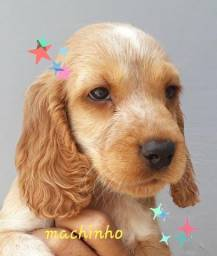 Lindos cocker spaniel