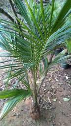 Mudona de Coco Anão 1,70m