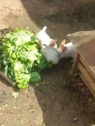 Vende-se 4 coelhos