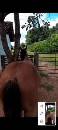 cavalo de vaquejada. top