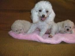 Filhotes lindíssimos de Poodle toy, Fêmea e Macho