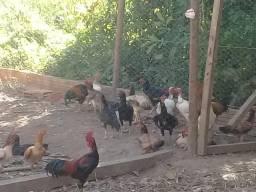 Lote de galinhas caipiras