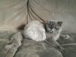 Vende se filhotes de gato da raça persa