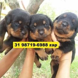 Canil Filhotes Cães Maravilhosos BH Rottweiler Pastor Akita Boxer Labrador