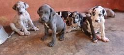 Título do anúncio: Filhotes de Dog Alemão favor ler o anuncio