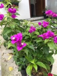 Buganvília/ Primavera
