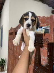 Beagle Femea com pedigree