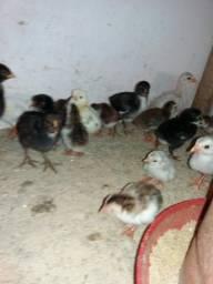 Pinto caipiras Pinto de galinha da Angola