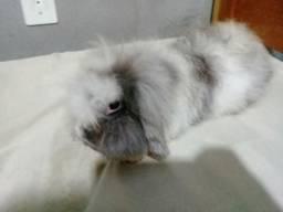 Coelha adulta fuzzy lop americana