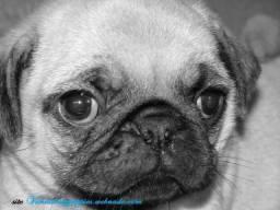 Pug vanila baby puppies procedência valor justo garanta hoje seu bebe !