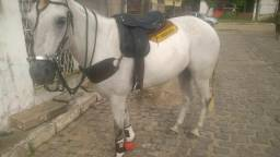 Vende-se cavalo de esteira testado e manso