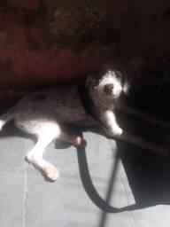 Cachorrinho castrado com 10 meses