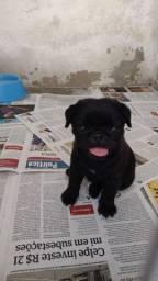Pug macho<br> Com pedigree CBKC, vermifulgado e vacinado de acordo com a idade