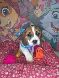 Linda fêmea de beagle 13 polegadas tricolor