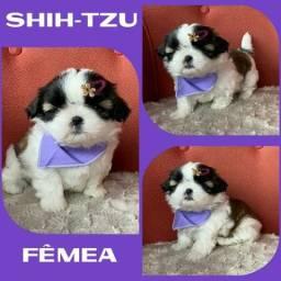 Shihtzu fêmea olha quem chegou ja vacinada