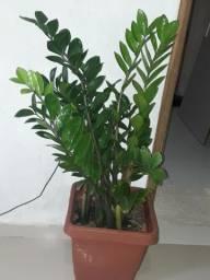 PLANTAS ZAMIOCULCA