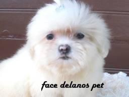 lindas bebes de lhasa apso delanos pet 4x sem juros procedência que faz diferença !