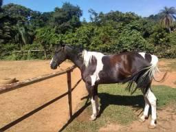Égua Paint Horse quarto milha PO pais importados.
