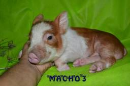 Mini Pig - Mini Porco
