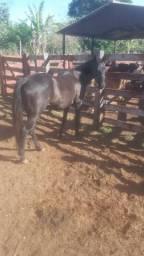 Égua preta nova com registro